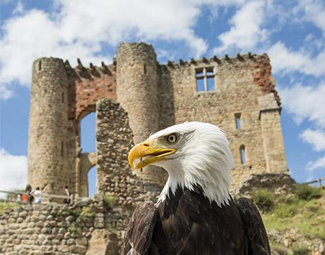 Aigle devant le Château de Rochebaron