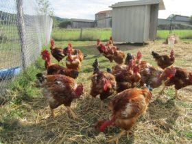 de-almeida-poulet-4