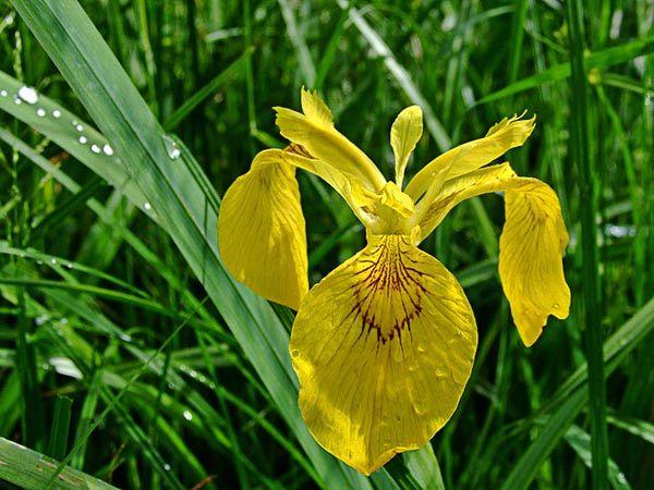 Iris-Faux-Acore-jardin-bota