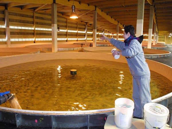 conservatoire saumon – nourriture des alevins