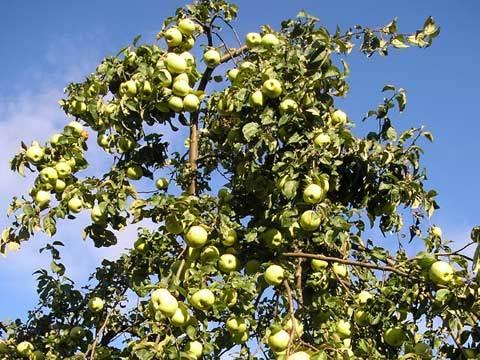arbre-fruitier-web