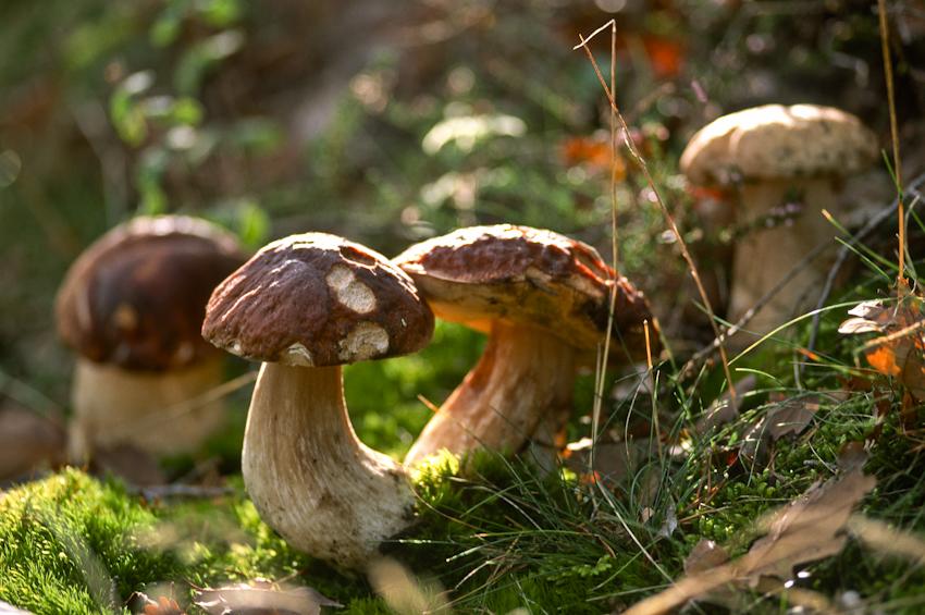 SEJ_Le Champignon dans tous Ses Etats_cèpes dans la forêt