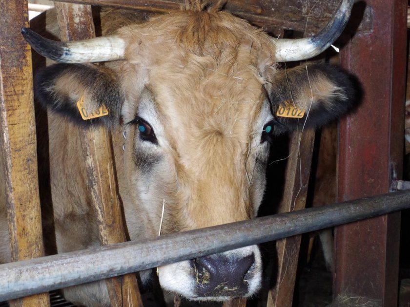 Vache à l'étable