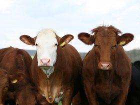 Troupeau vaches