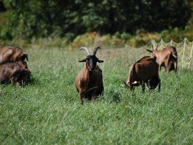 PCU_ Les Biquettes de Sembadel_Chèvres